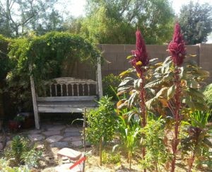 native plants amaranth