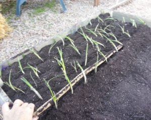 plant and grow onions