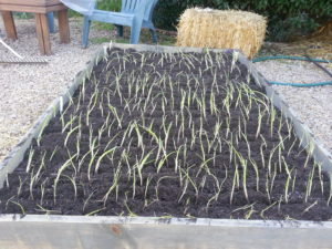 grow onions onion bed