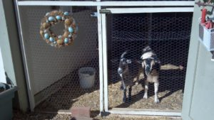 goats-annie-and-rose