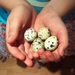 spotted-quail-eggs