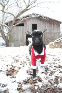 Raising Dairy Goats in Winter, Courtesy of Wish We Had Acres