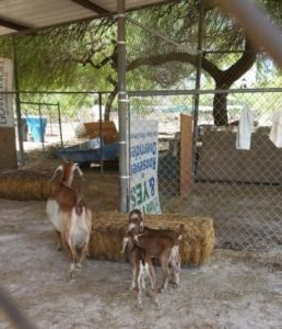 start at farm business dairy goats