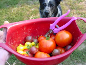 Backyard Permaculture Tomatoes